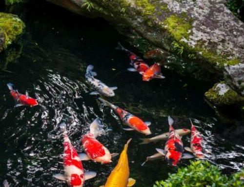 Save Space with a Miniature Koi Pond