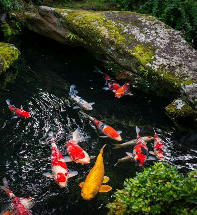 koi garden pond water feature design maintenance