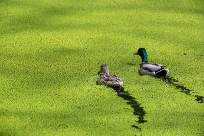 duckweed mitigatation pond