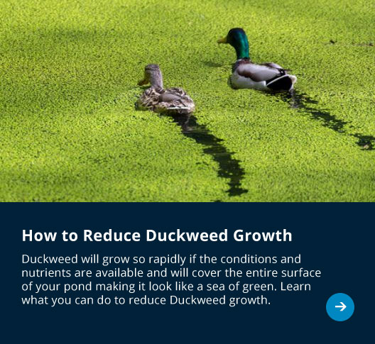 How to reduce Duckweed growth in your Pond